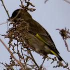 Greenfinch, Verderón