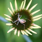 Wheel Bug (nymph)