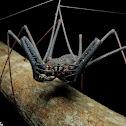 Whip-spider (Aranha-chicote)