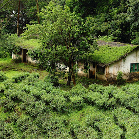 Green Wilderness by Ansari Joshi - Buildings & Architecture Decaying & Abandoned ( old house, old, nature, green, tea, , renewal, trees, forests, natural, scenic, relaxing, meditation, the mood factory, mood, emotions, jade, revive, inspirational, earthly )