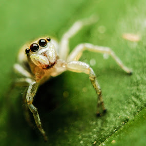 Jumping Spider by Krizzel Almazora - Animals Insects & Spiders ( canon, animals, macro, nature, spider, insects,  )