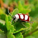 Red and White Crysomelidae beetle