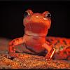Cave Salamander
