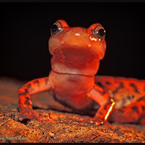 Salamanders of the Southeastern United States