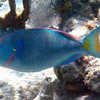 male Stoplight Parrotfish