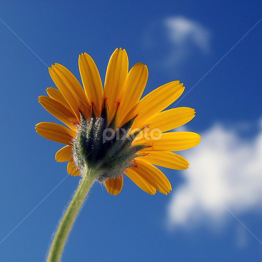 Sun by Runam . - Flowers Single Flower (  )