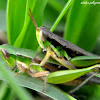 Grasshopper Mating