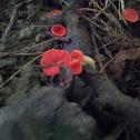Stalked Scarlet Cups