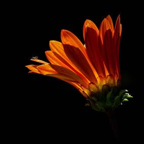 by Mario J - Flowers Single Flower ( low key, light, flower )