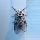 Great Leopard Moth, Eyed Tiger Moth