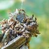 Case moth caterpillar