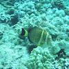 Whitespotted Surgeonfish (api)