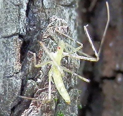 Asassin Bug Nymph