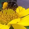 All-black bumblebee