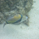Reef Triggerfishes