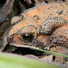 Southeast Asian Toad, Asian Common Toad, Spectacled Toad