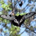 Greasy swallowtail