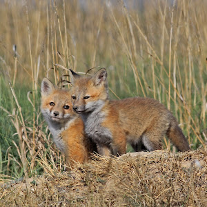fox-pup.jpg