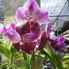 moon orchid / anggrek bulan