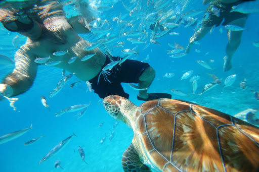 sea-turtle-snorkel-Barbados - A sea turtle swims with snorkelers in Barbados.