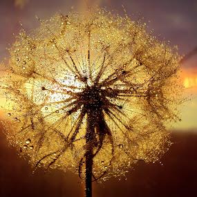 Dandelion by Svetlana Micic - Nature Up Close Other plants ( water, plant, colors, beauty, close up, soft, macro, dandelion, drops, light trails, goat beard, light, flower )