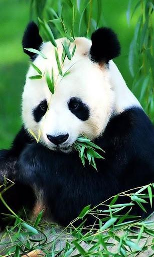Panda Live Wallpapers