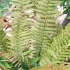 Some sort of fern