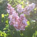 Lillac Blossom