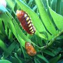 Atala butterfly (larvae)