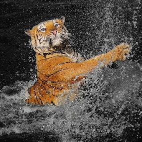 splashh by Caraka Pamungkas - Animals Lions, Tigers & Big Cats