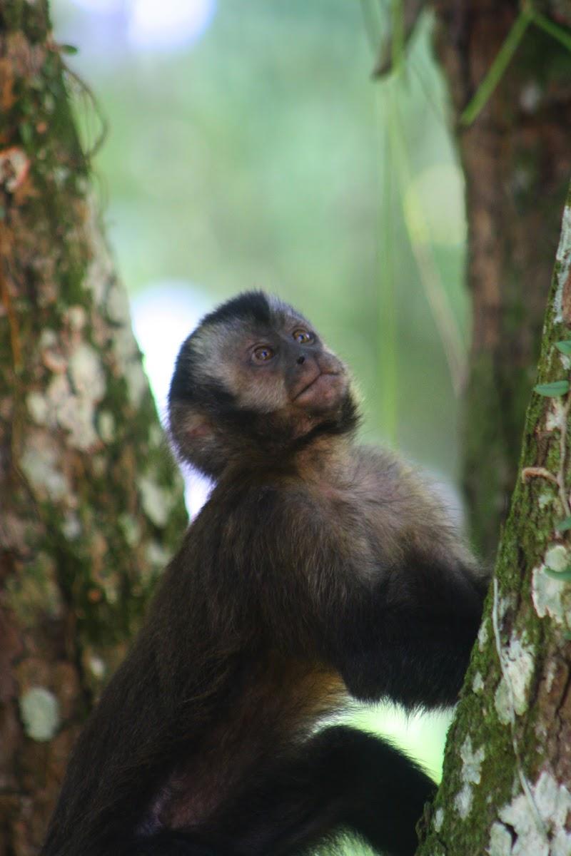 Capuchino negro / Black capuchin