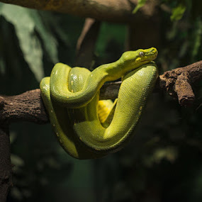 sublime by Trish Beukers - Animals Reptiles ( australian reptile park )