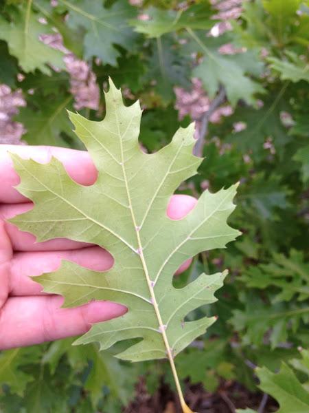 Shumard Oak Project Noah