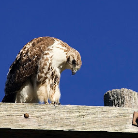 American Red Tail Hawk by Jim Westcott - Animals Birds ( birds of prey, wildlife,  )