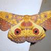 Emperor moth