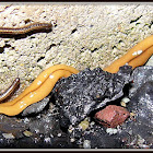 Land Planarian Flatworm
