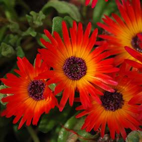 by Danny Vandeputte - Flowers Flower Gardens ( Flowers, Flower Arrangements )