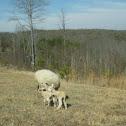 Sheep and Newborn Lambs