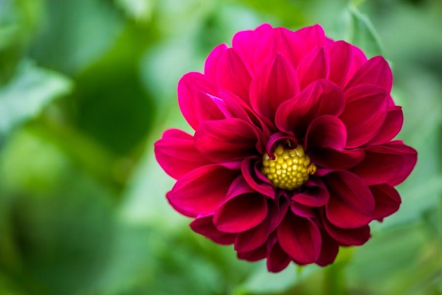 Pink Flower by Shreenivas Yenni - Flowers Single Flower