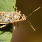 Hyaline Grass Bug