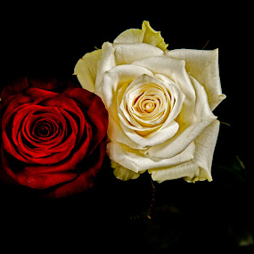 You and me by Tom Mehlum - Flowers Flower Buds ( rose, red, white, roses, flowers )