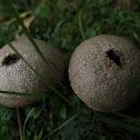 Puff Balls