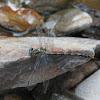 Large Pincertail