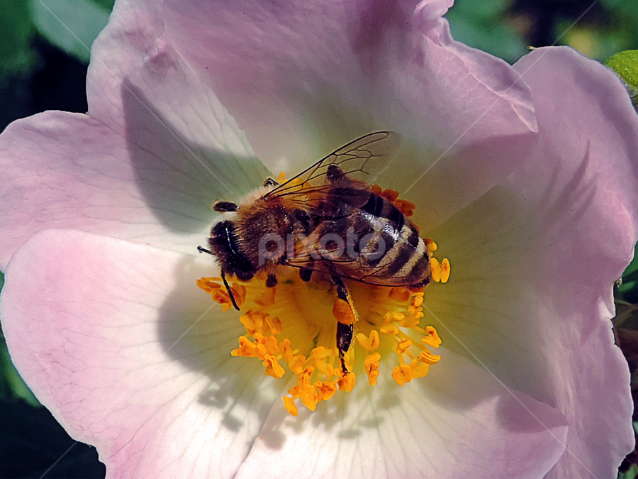 bee on rose by LADOCKi Elvira - Animals Insects & Spiders ( color2014, nature, 2014, plants, flowers, garden,  )