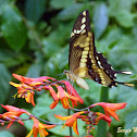 Heraclides butterfly