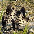 Swallowtail butterflies 'puddling'