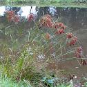 Woolgrass or Marsh Bulrush