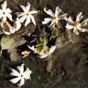 Oleaceae (Shiuli Phul)
