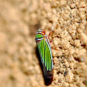 Sharpshooter Plant Hopper