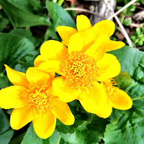 Distribution of Native and Invasive Look-Alike Buttercups